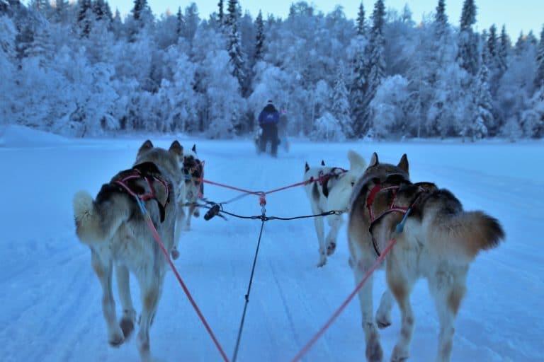 À quelle vitesse les chiens de traîneaux peuvent-ils courir ?