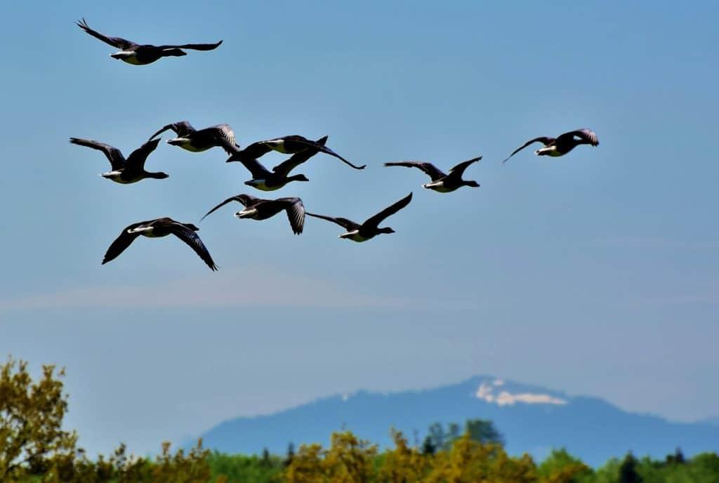 vol avec oiseaux
